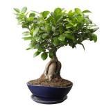 Хотите дерево бонсай купить в Украине? Посетите VIP Plants!